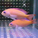 ケラマハナダイ 5匹セット 5-7cm±! 海水魚 ハナダイ 【餌付け】15時までのご注文で当日発送【ハナダイ】