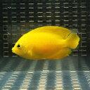 ヘラルドヤッコ 5匹セット 4-6cm±! 海水魚 ヤッコ 餌付け 15時までのご注文で当日発送【ヤッコ】