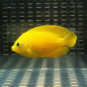 ヘラルドヤッコ 5匹セット 5-7cm±! 海水魚 ヤッコ 餌付け 15時までのご注文で当日発送【ヤッコ】