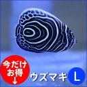 ウズマキ Lサイズ 10-12cm±! 海水魚 ヤッコ 餌付け!15時までのご注文で当日発送【ヤッコ】