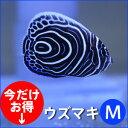 ウズマキ Mサイズ 約7-9cm±! 海水魚 ヤッコ 餌付け!15時までのご注文で当日発送【ヤッコ】