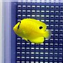 シテンヤッコ 約4-6cm± !海水魚 ヤッコ 餌付け 【PHセール対象】【ヤッコ】