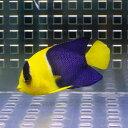 ソメワケヤッコ 4cm-6cm±! 海水魚 ヤッコ15時までのご注文で当日発送【ヤッコ】