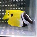 ヒフキアイゴ 7-10cm±! 海水魚 アイゴ餌付け 【PHセール対象】【ハギ】
