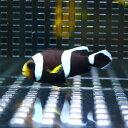 ホワイトチップアネモネ 【1匹】 約4-6cm±! 海水魚 クマノミ 餌付け 【PHセール対象】【クマノミ】