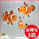 カクレクマノミ 3匹セット 3-5cm±! 海水魚 クマノミ 餌付け 15時までのご注文で当日発送【クマノミ】