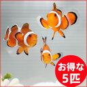 カクレクマノミ 5匹セット 3-5cm±! 海水魚 クマノミ...