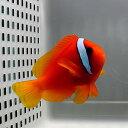 ハマクマノミ 4-6cm±! 海水魚 クマノミ 餌付け 【PHセール対象】【クマノミ】