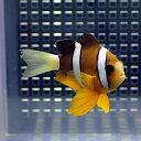 クマノミ【1匹】 約4-6cm± ! 海水魚 クマノミ 餌付け 15時までのご注文で当日発送【クマノミ】