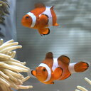 カクレクマノミ【1匹】 3-5cm±! 海水魚 クマノミ 餌付け★!15時までのご注文で当日発送【クマノミ】
