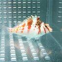 サラサゴンベ 【1匹】 4-6cm±! 海水魚 ゴンベ 餌付け・!15時までのご注文で当日発送【ゴンベ】
