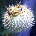 ハリセンボン 約7-10cm± !海水魚 フグ ※多少の鰭スレ、キズあり 15時までのご注文で当日発