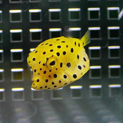 ミナミハコフグ 4-6cm±! 海水魚 フグ 【餌付け】15時までのご注文で当日発送【フグ】