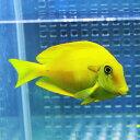 モンツキハギ イエロー 5-8cm±! 海水魚 ハギ 餌付け15時までのご注文で当日発送【PHセール対象】【ハギ】