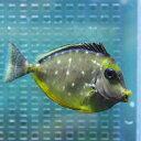 ミヤコテングハギ 6-8cm±! 海水魚 ハギ 餌付け15時までのご注文で当日発送【PHセール対象】【ハギ】