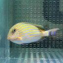 ニジハギ 6-8cm± コケ掃除! 海水魚 ハギ 餌付け 【PHセール対象】【ハギ】