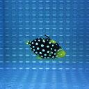 モンガラハギ T 4-5cm±! 海水魚 ハギ人工餌付け!15時までのご注文で当日発送【ハギ】