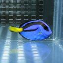 ナンヨウハギ【SMサイズ4-5cm】 海水魚 ハギ 餌付け! 【多少ヒレ欠け有】15時までのご注文で当日発送【ハギ】