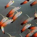 ハタタテハゼ 【3匹】 約4-7cm±! 海水魚 ハゼ 餌付け 15時までのご注文で当日発送【ハゼ】