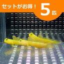 ギンガハゼ イエロー 約3-5cm± 5匹セット !海水魚 ハゼ 餌付け 15時までのご注文で当日発送【ハゼ】