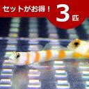 ヤノダテハゼ 6-8cm± 3匹セット 海水魚 ハゼ! 餌付け 15時までのご注文で当日発送【ハゼ】