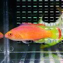 ベニヒレイトヒキベラ 5-8cm±! 海水魚 ベラ 餌付け15時までのご注文で当日発送【ベラ】