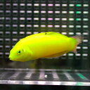 コガネキュウセン 10匹セット 海水魚 ベラ 餌付け15時までのご注文で当日発送【ベラ】