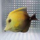 ゴマハギ 5-7cm± 海水魚 ハギ! 少しヒレ欠け 餌付け15時までのご注文で当日発送【PHセール対象】【ハギ】