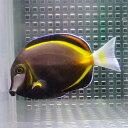 ナミダクロハギ 8-10cm± 海水魚 ハギ! 餌付け 【PHセール対象】【ハギ】