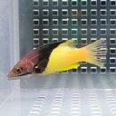 ケサガケベラ 9〜12cm± 海水魚 ベラ! 餌付け15時までのご注文で当日発送【ベラ】