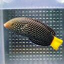 ホクトベラ 5-8cm± 海水魚 ベラ! 餌付け15時までのご注文で当日発送【ベラ】