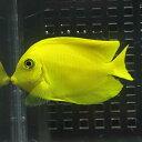 クログチニザ ヘラルドタイプ 7-9cm± 海水魚 ハギ! 餌付け15時までのご注文で当日発送【ハギ】