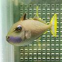 ホシモンガラ オス(1匹) 8-10cm±! 海水魚 モンガラ 餌付け15時までのご注文で当日発送【ハギ】