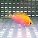 ハナゴンベ 【1匹】 2-4cm± ! 海水魚 ゴンベ !15時までのご注文で当日発送【ゴンベ】