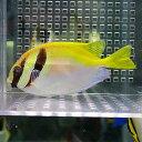 ヒメアイゴ 6-8cm±! 海水魚 アイゴ餌付け 15時までのご注文で当日発送【ハギ】