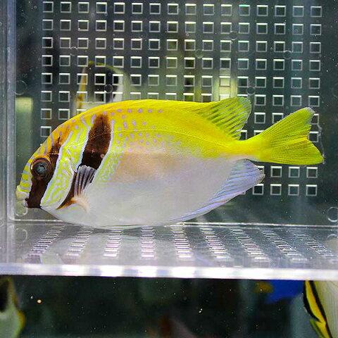 ヒメアイゴ 4-6cm±! 海水魚 アイゴ餌付け 15時までのご注文で当日発送【ハギ】