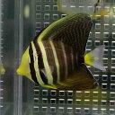 ヒレナガハギ 4-6cm± 海水魚 ハギ! 餌付け 【PHセール対象】【ハギ】