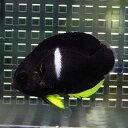 アブラヤッコヤッコ 約5-7cm± !海水魚 ヤッコ 餌付け 15時までのご注文で当日発送【ヤッコ】