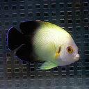ナメラヤッコ 5匹セット 6-8cm± !海水魚 ヤッコ 15時までのご注文で当日発送【ヤッコ】