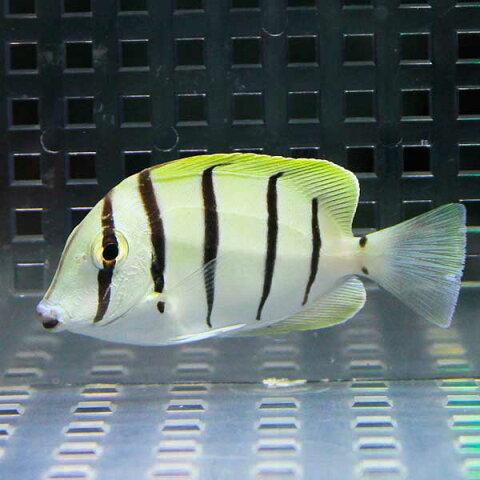 シマハギ 5-7cm± 海水魚 ハギ! 餌付け15時までのご注文で当日発送【ハギ】