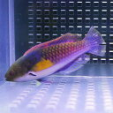クロヘリイトヒキベラ 海水魚 ベラ 約7-10cm± !15時までのご注文で当日発送【ベラ】