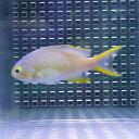 メラネシアンアンティアス 5匹 セット! 海水魚 ハナダイ 【餌付け】15時までのご注文で当日発送【ハナダイ】