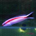 アカオビサンゴアマダイ 8-12cm± 海水魚 ギンポ! 15時までのご注文で当日発送【ハゼ】