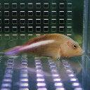 メガネゴンベ 5-6cm± ! 海水魚 ゴンベ !15時までのご注文で当日発送【ゴンベ】