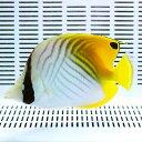 トゲチョウ 11-13cm±! 海水魚 チョウチョウウオ 餌付け 【PHセール対象】【チョウチョウウオ】