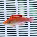 デベリウスフェアリーラス ♂ 6-8cm± 海水魚 ベラ! 餌付け15時までのご注文で当日発送【ベラ】