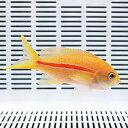 スジハナダイ 8-11cm± ! 海水魚 ハナダイ 【15時までのご注文で当日発送】【ハナダイ】