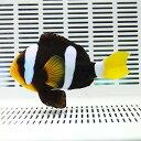 クラーキークラウン 9-12cm±! 海水魚 クマノミ 餌付け【クマノミ】