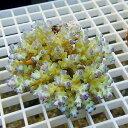 【サンゴ現物144】フィジー ミドリイシ ! 15時までのご注文で当日発送 べっぴん珊瑚祭り対象