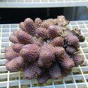 【サンゴ現物188】フィジー ミドリイシ !15時までのご注文で当日発送 べっぴん珊瑚祭り対象